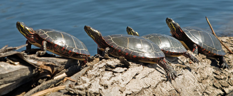 http://www.dreamstime.com/royalty-free-stock-photo-row-turtles-basking-sun-image13890315