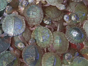 turtlescropped
